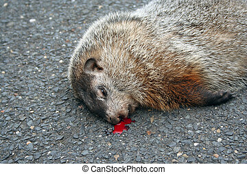 Dead Groundhog - A Dead Groundhog in the street