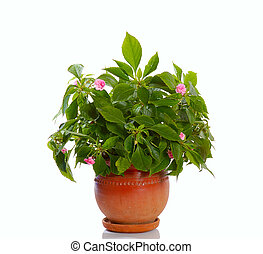 blooming plant in pot - blooming plant with pink flowers in...