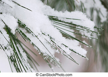 Snow on pine needles - Pine needles covered with fluffy...