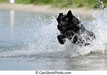 Black dog in water - Black dog is jumping in the water.