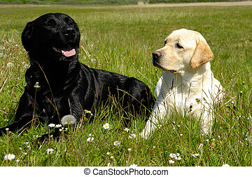 Black and white dogs - A black and a white dog is resting on...