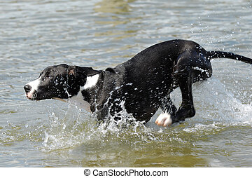 Great Dane running in water - A Great Dane puppy is running...