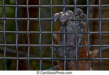 captive - an orangutan hand holds on to the wire mesh