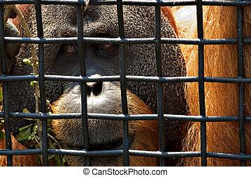 behind bars - an orangutan looks out through the wire mesh