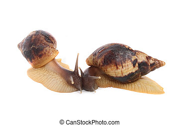 snails - big and brown snails on the white background