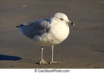 poised sea gull - close up of a white and grey sea gull,...