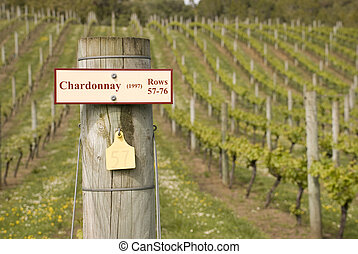 Chardonnay Grapevines - Spring growth on the vines