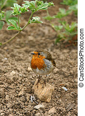 Robin Redbreast - Robin standing on a small rock on the...