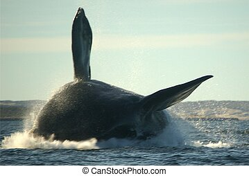 Massive whale jumping - Southern Right Whale ploughing the...