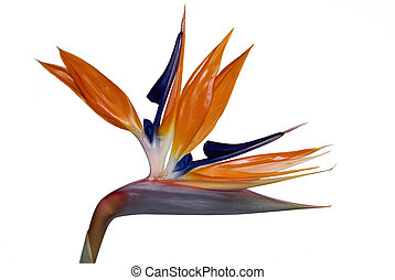 Bird of Paradise Flower Strelitzia Reginae Official Flower...