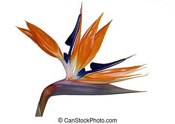 Bird of Paradise Flower (Strelitzia Reginae). Official...