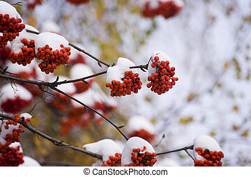 mountain ash in winter - Branches of a mountain ash after...