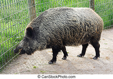 wild boar in the zoo