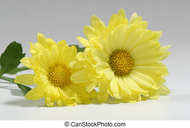 Yellow Mums - Photo of 2 Yellow Mums - Seasonal Flower -...