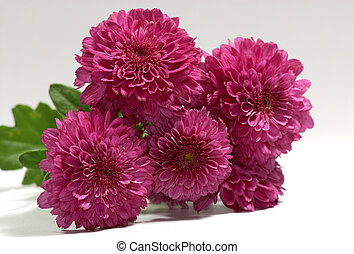 Mums - Photo of Magenta / Maroon Color Mums - Seasonal...