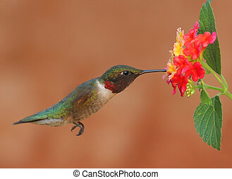 Lantana and Hummingbird - Adult male Ruby-throated...