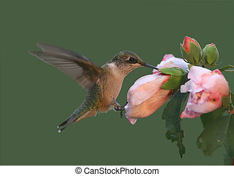 Hummer and Hibiscus - Hungry juvenile Ruby-throated...