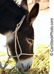 Donkey (Equus asinus) eating sorghum leaves as he rests from...