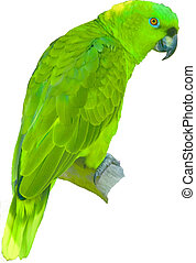 Green Parrotlet - Possible F. passerinus perching on white...