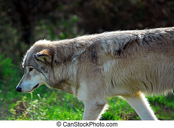 Gray wolf Canis lupus - Portrait of a Gray Wolf in its...