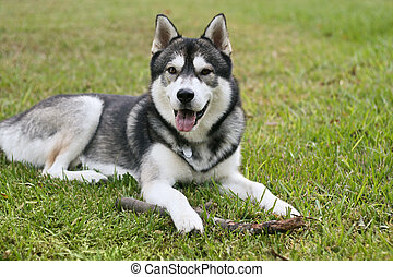 Siberian Husky Outside - a Siberian Husky shows his dirty...