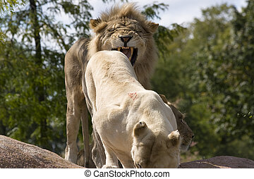 Angry Lion - Two Angry Lions