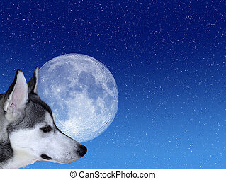 Bark at the Moon - Siberian Husky looking at moon on starry...