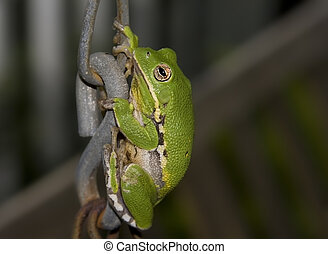 Tree Frog on Chain - Large green Tree Frog climbing a porch...