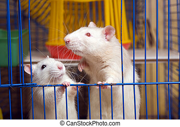 The wordly-wise friend - two white domestic rats at the...