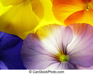 viola - close-up of colourful viola tricolor against white...