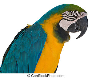 Blue-and-Yellow Macaw - Blue and gold macaw A ararauna on...