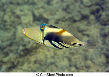 Picasso Triggerfish - Tropical fish Picasso Triggerfish...