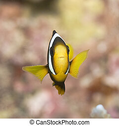 Clark\\\'s Anemonefish (Amphiprion clarkii) Maldives. Indian...