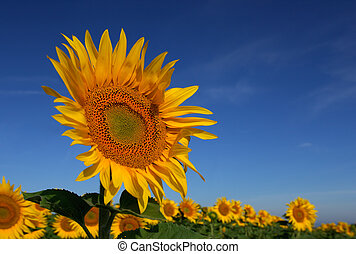 wild, Sonnenblume