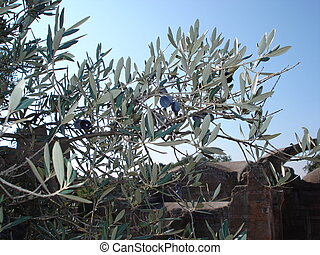 olive branch - Olive branch with ripe fruit.