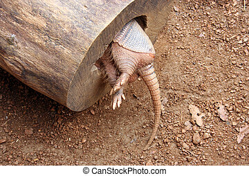 Armadillo Tail - An armadillo in a hollowed out log from the...