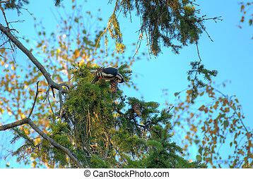 Eating Woodpecker HDR - A woodpecker on a fir branch,...