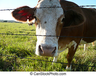 Cow Face looking through the Barb Wire