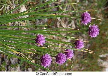 Schnittlauch - A blooming, wild growing chive plant in the...