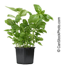 fresh basil in pot 2 - fresh basil in pot against white...