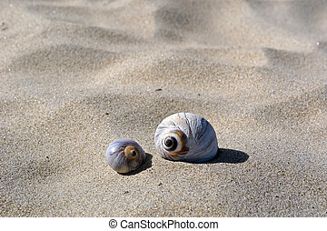 big shell small shell - two round spiral sea shells sit on...