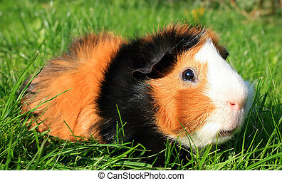 Guinea Pig - this image shows a portrait from a guinea pig