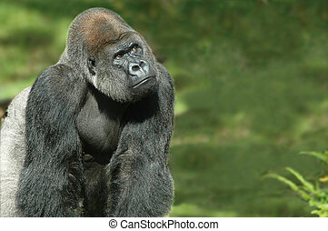 Thinking Gorilla - Lone thinking gorilla in his natural...