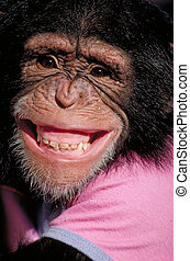 Grinning Chimpanzee - close-up of a grinning chimpanzee
