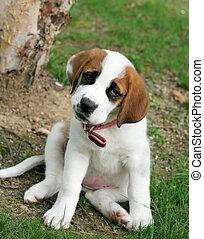 st. bernard puppy - adorable st. bernard puppy sitting on...