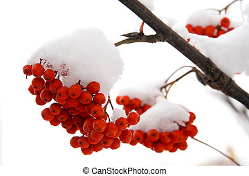 Ashberry on a snowy treebranch. On a white background.