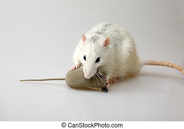 Mice hunting - white domestic rat hunting a gray toy-mouse