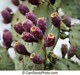 Prickly Pear Fruit - Fuscia colored fruit on a prickly pear...