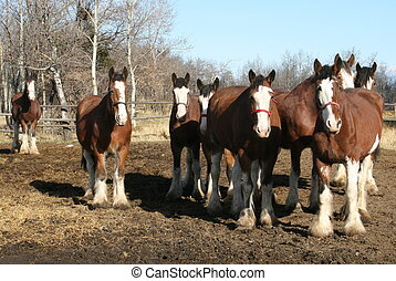 Clydesdale Horses home from pasture.