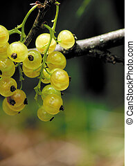 Garden white currant Summer